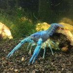 1-Live-Electric-Blue-Crayfish-2-3-Young-Adult-Incredibly-Beautiful-and-Striking-by-InvertObsession-0