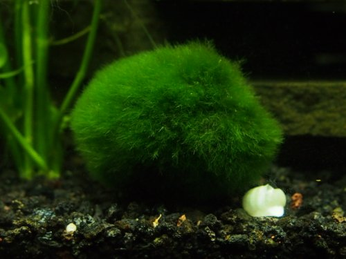 3 large marimo moss balls 2 to 3 8 15 years old for Betta fish moss ball