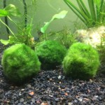 3-LARGE-Marimo-Moss-Balls-2-to-3-8-15-years-old-Great-for-live-fish-shrimp-and-snails-by-InvertObsession-0
