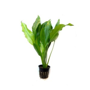 Echinodorus-bleheri-Small-Amazon-Sword-Live-Aquarium-Plant-0