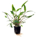 SubstrateSource-Cryptocoryne-lutea-Live-Aquarium-Plant-0