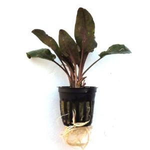 SubstrateSource-Cryptocoryne-wendtii-Tropica-Live-Aquarium-Plant-0