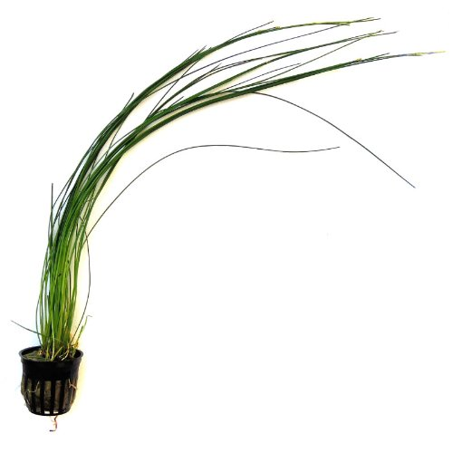 how to grow aquarium grass
