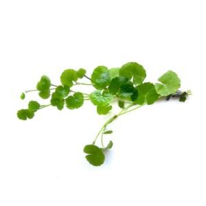 SubstrateSource-Hydrocotyle-leucocephala-Brazilian-Pennywort-Live-Aquarium-Plant-0