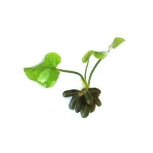SubstrateSource-Nymphoides-aquatica-Banana-Plant-Live-Aquarium-Plant-0
