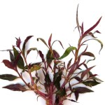 SubstrateSource-Telanthera-Cardinalis-Alternanthera-reineckii-Live-Aquarium-Plant-0