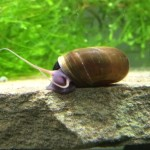 10-Live-Brown-Ramshorn-Snails-Algae-eaters-safe-for-fish-plants-and-shrimp-by-InvertObsession-0