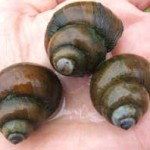 25-Live-Hardy-Trapdoor-Snails-for-Water-Gardens-Ponds-Aquariums-We-CAN-Only-Ship-to-East-of-Mississipi-0
