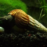3-Giant-Sulawesi-Snails-2-4-from-Indonesia-VERY-seldom-available-by-InvertObsession-0