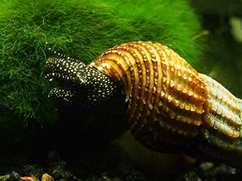 Giant-Sulawesi-Snails-2-4-from-Indonesia-VERY-seldom-available-by ...