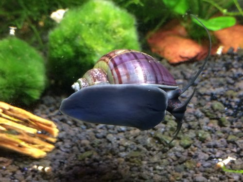 3 large 1 2 2 black purple mystery snails algae for Fish tank snails