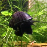 3-LARGE-1-3-BlackPurple-Mystery-Snails-Live-Snails-Algae-eaters-safe-for-fish-live-aquarium-plants-and-shrimp-by-InvertObsession-0