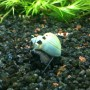 3-LARGE-1-3-Blue-Mystery-Snails-Live-Snails-Algae-eaters-safe-for-fish-live-aquarium-plants-and-shrimp-by-InvertObsession-0-1