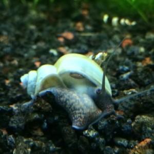 3-LARGE-1-3-Blue-Mystery-Snails-Live-Snails-Algae-eaters-safe-for-fish-live-aquarium-plants-and-shrimp-by-InvertObsession-0