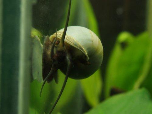 3 large 1 2 2 ivory white mystery snails algae for White algae in fish tank