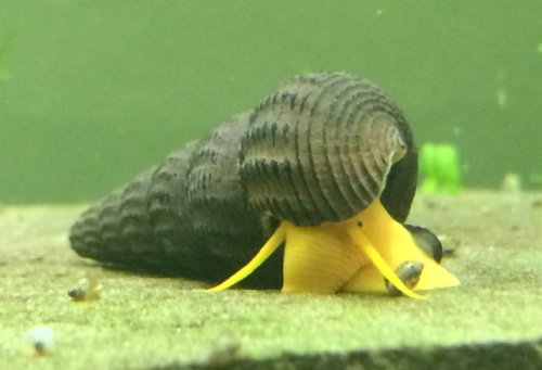 Orange Giant Sulawesi Rabbit Snails (Tylomelania sp. - 1 to 3 inches ...