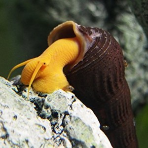 3-Orange-Giant-Sulawesi-Snails-2-4-from-Indonesia-VERY-seldom-available-by-InvertObsession-0