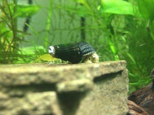 Mini Golden Rabbit Snails (1