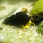 5-Mini-Golden-Rabbit-Snails-1-from-Sulawesi-Indonesia-VERY-seldom-available-by-InvertObsession-0