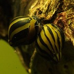 5-Zebra-Nerite-Snails-Algae-eaters-safe-for-fish-plants-and-shrimp-by-InvertObsession-0