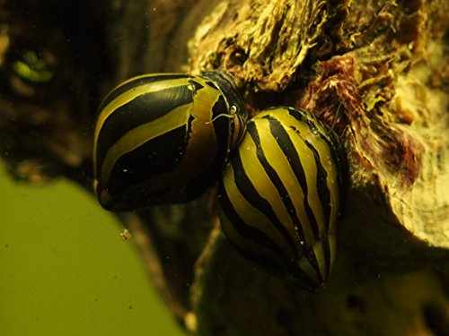 Zebra Nerite Snails (Algae eaters - safe for fish, plants, and shrimp ...