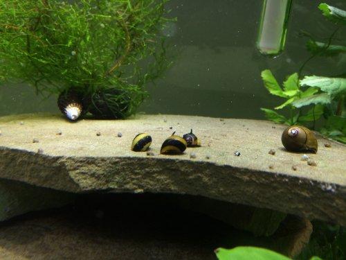 Zebra-Thorn-Nerite-Snails-Algae-eaters-safe-for-fish-plants-and-shrimp ...