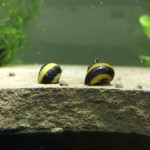 5-Zebra-Thorn-Nerite-Snails-Algae-eaters-safe-for-fish-plants-and-shrimp-by-InvertObsession-0