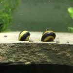 5-Zebra-Thorn-Nerite-Snails-Algae-eaters-safe-for-fish-plants-and-shrimp-by-InvertObsession-0