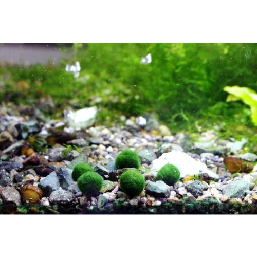 Luffy marimo moss ball x 5 1 0 5 inch free live for Moss balls for fish tanks