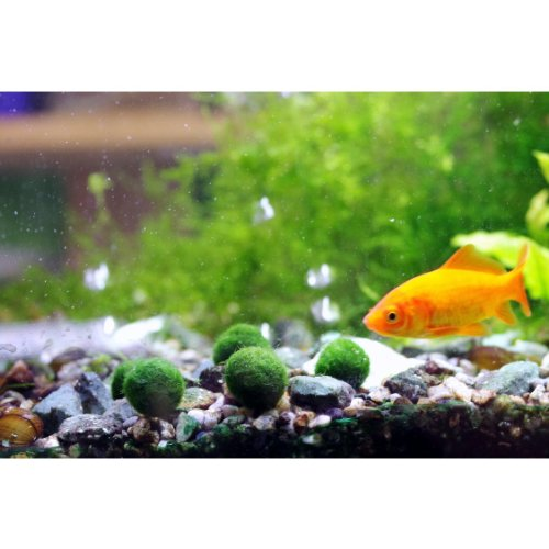 Luffy marimo moss ball x 5 1 0 5 inch free live for Red algae in fish tank