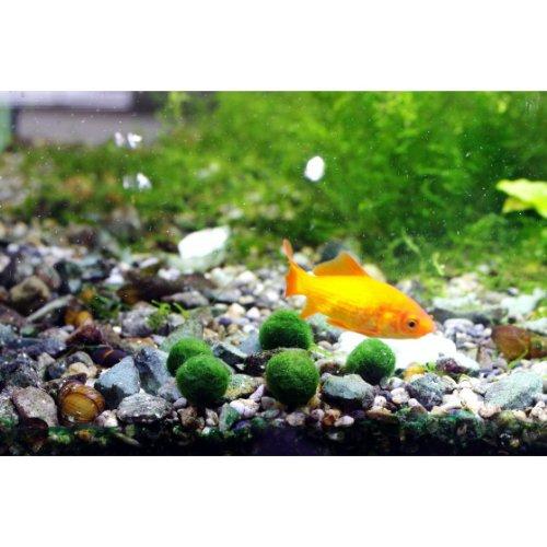Luffy marimo moss ball x 5 1 0 5 inch free live for Betta fish moss ball