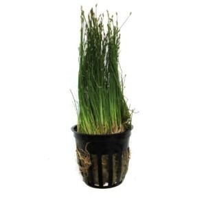 SubstrateSource-Eleocharis-acicularis-Dwarf-Hairgrass-Pot-Live-Aquarium-Plant-0