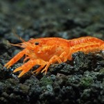 1-BRIGHT-Orange-CPO-Dwarf-Mexican-CrayfishMini-Lobster-Freshwater-Safe-for-shrimp-plants-and-most-fish-by-InvertObsession-0