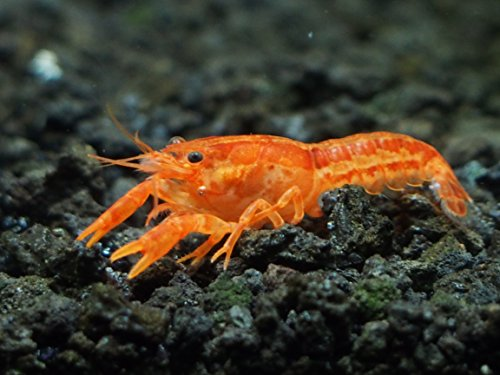 1 orange cpo dwarf mexican crayfish mini lobster for Fishing with live shrimp