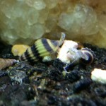 12-Live-Assassin-Snails-Removes-All-Pest-Snails-with-Beautiful-Black-and-Yellow-Color-by-InvertObsession-0