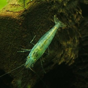 5-Live-Freshwater-Blue-Velvet-Shrimp--Java-Moss-by-InvertObsession-0