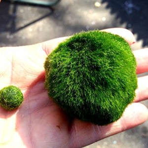 Giant-Marimo-Moss-Ball-15-inch-to-2-inch-X-1--one-small-marimo-Freeship-from-USA-Live-Aquarium-Aquatic-Plant-for-Fishshrimp-Tank-USA-for-discus-betta-decor-ornament-crystal-red-shrimp-cheapest-diffuse-0