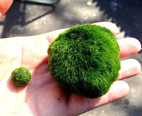 Luffy marimo moss balls beautiful and natural aquarium for Live plants for betta fish