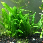 Java-Fern-Huge-3x5-Mat-with-30-50-Leaves-Live-Aquarium-Plant-by-InvertObsession-0