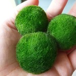 3-Giant-Marimo-Moss-Ball-15-inch-to-2-inch--one-small-marimo-Freeship-from-USA-Live-Aquarium-Aquatic-Plant-for-Fishshrimp-Tank-USA-for-discus-betta-decor-ornament-crystal-red-shrimp-cheapest-diffuser--0