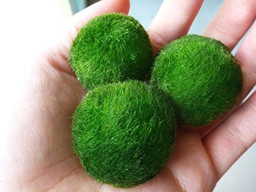 4 luffy marimo moss balls aesthetically beautiful for Betta fish moss ball