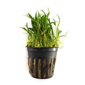 SubstrateSource-Lilaeopsis-brasiliensis-Micro-Sword-Live-Aquarium-Plant-0
