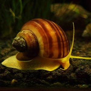 3-LARGE-12-2-Albino-Mystery-Snails-Snails-Algae-eaters-safe-for-fish-live-aquarium-plants-and-shrimp-by-Aquatic-Arts-formerly-InvertObsession-0