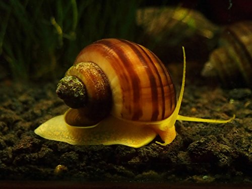 3 albino mystery snails pomacea bridgesii 1 2 to 2 for Snails in fish tank