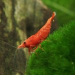 5-Live-Sakura-Fire-Red-Cherry-Shrimp-Breeding-age-young-adults--Java-Moss-by-Aquatic-Arts-formerly-InvertObsession-0